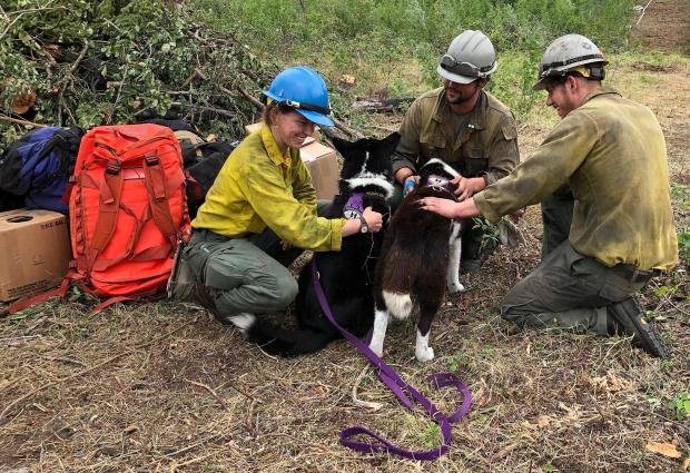 Soledad and Rio, Karelian bear dogs, are being pet by Pioneer Peak and Winema Hotshot crew members on June 19, 2020.  The dogs and handler, Nils Pedersen, patrolled fire camps and fireline to keep bears away.