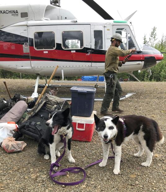 Two black and white Karelian bear dogs waiting patiently with equipment in front of a red and white helicopter on the Isom Creek Fire, June 19, 2020.