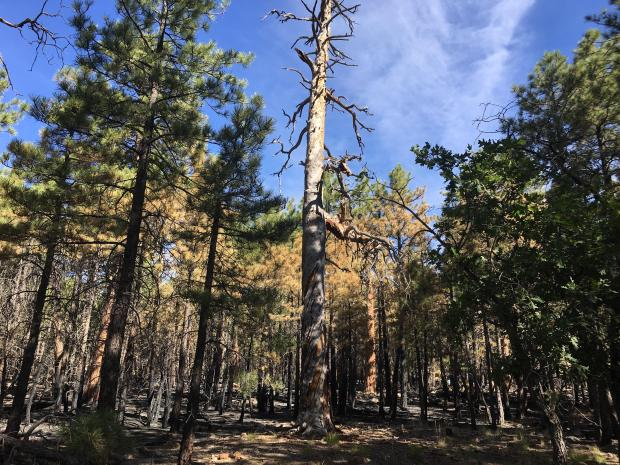 Trumbull Fire old growth snag August 18 2019