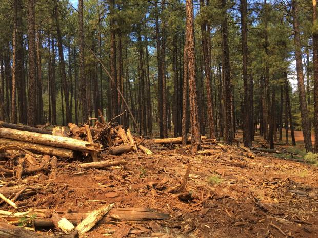 Accumulation of dead and decomposing logs within the Saber Fire area