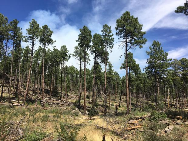 Accumulation of dead and decomposing logs within the Saber Fire planning area