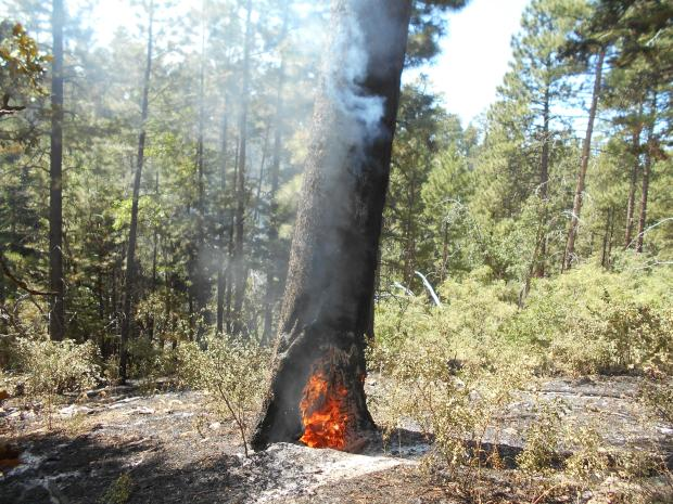 Tree burning in a previously fire weakened point called a Catface. A Catface is a defect on the surface of a tree resulting from a wound where healing has not re-established a normal cross-section. Photo: Winter West, Saguaro Fire Module 09/05/19