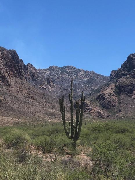A Saguaro cactus stands in front of blackened ground