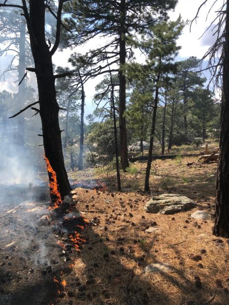 standing in an open green pine forest under a blue sky, on orange pine needles.  Fire is visible in the pine needles with a flame showing on nearby tree