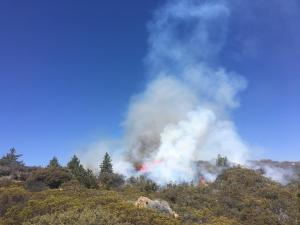 Prescribed fire in a stand of pine trees and chaparral.