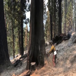 A firefighter saws a large tree and it falls perfectly between other trees.