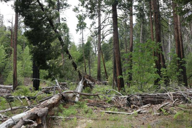 In nearly a decade, the amount of dead and down vegetation has accumulated so much in Central Cedar Grove, that without a prescribed burn to thin it out, battling a wildfire in the heat of summer would be extremely tough and dangerous.