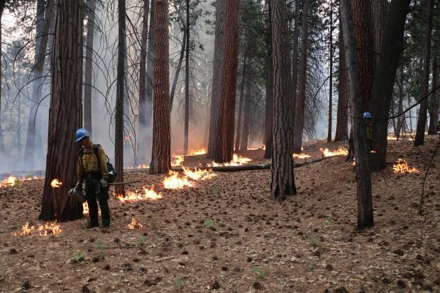 A firefighter uses a driptorch to create a line of low fire in an open conifer forest