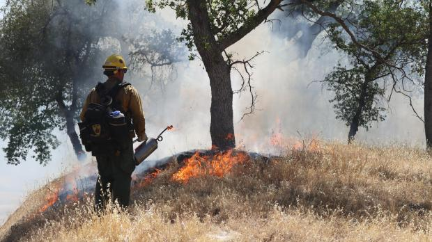A fire manager holds a drip torch while looking at low-intensity flames near the base of an oak tree.