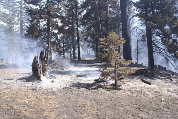 A large stump smolders on the Fork Fire.