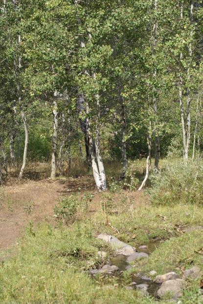 A stand of aspen trees with a creek in the foreground.