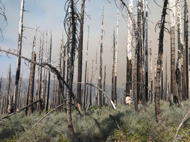 Dead, charred tree snags are seen from a previous fire. Some have already broken and are down or partially down.