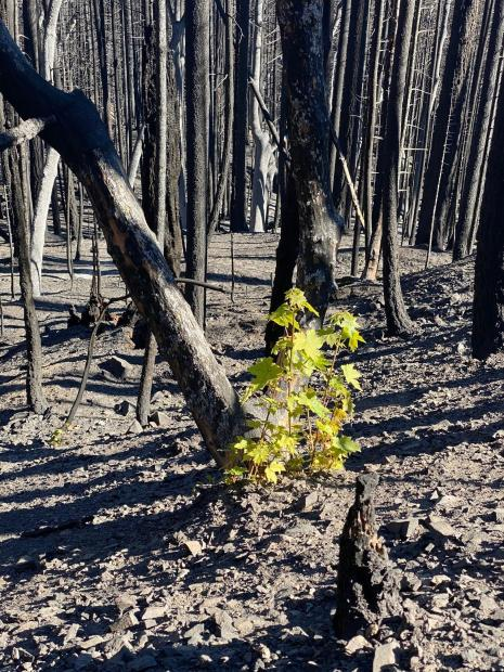 A maple tree resprouts from ashes burned by a wildfire.