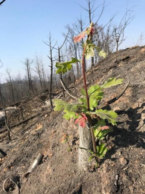 View of new oak tree shoot with leaves rising from burned stump and ash.