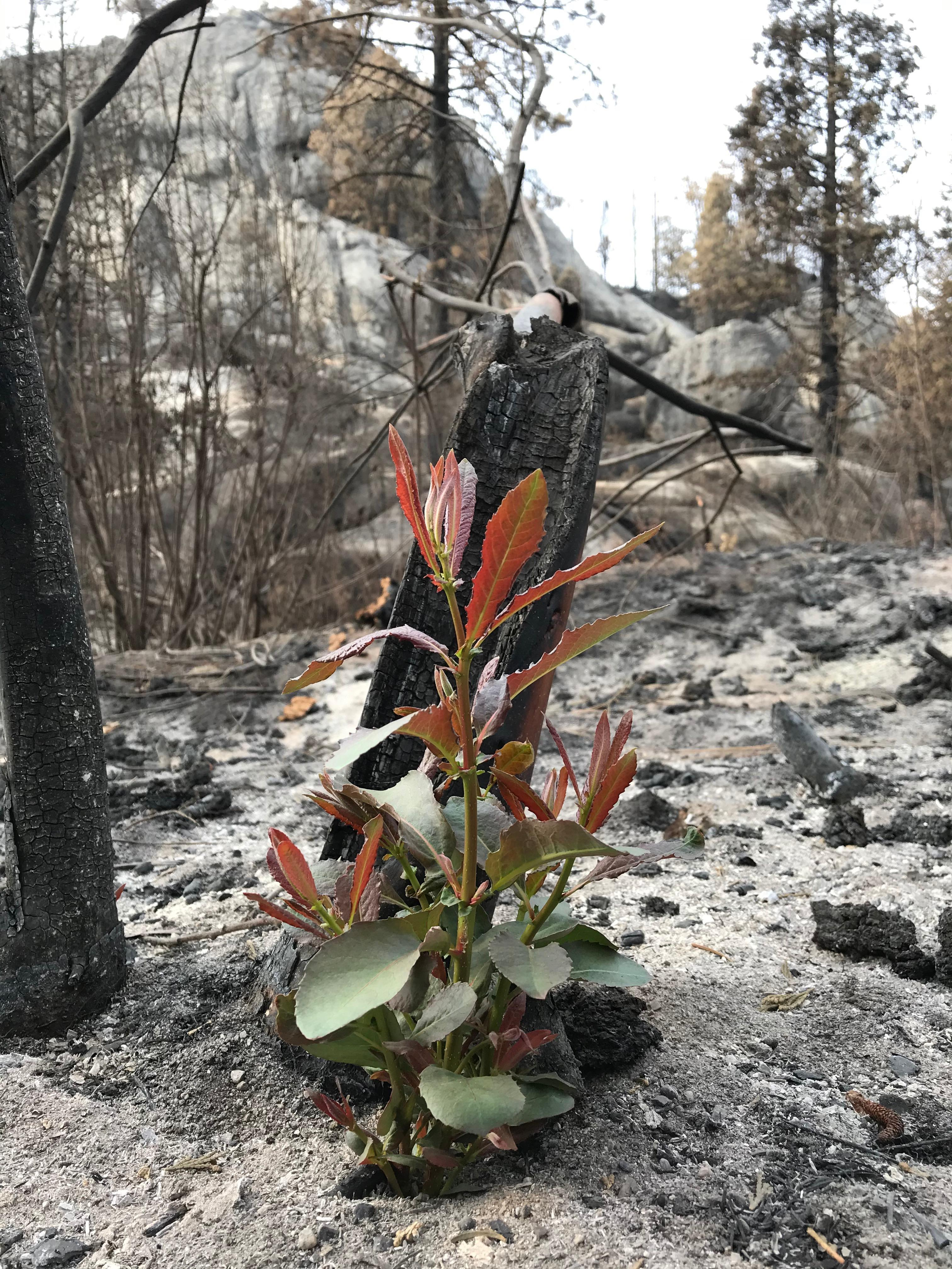 New plant sprouting in burn area near Stevenson Creek, Oct 10 2020. Photo by Daniel R. Patterson, PIO