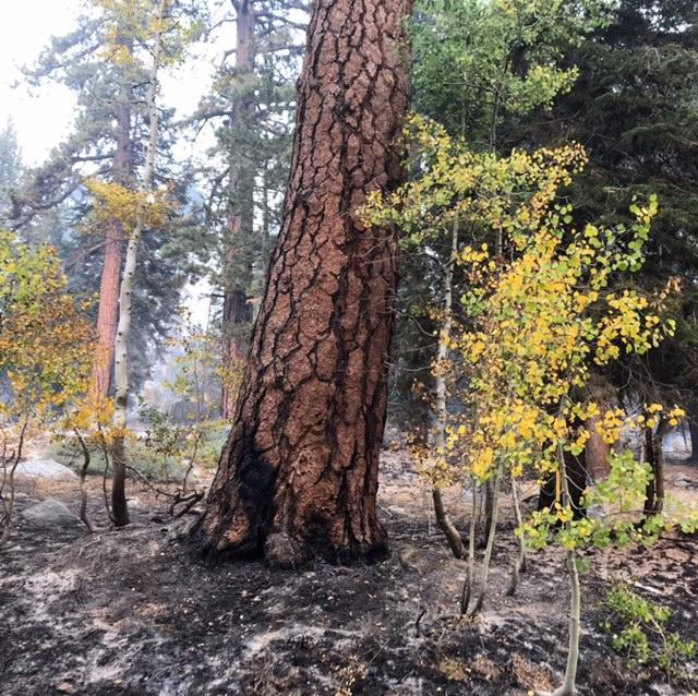View of large pine tree and 2 smaller aspen trees. Fire burned along the ground here, sparing the trees.