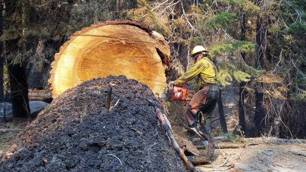 Sawyer chainsaws large downed sequoia tree