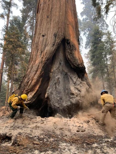 One firefighter sprays water from a backpack bladder bag while another digs hot ash from the base of a large sequoia using a combi-tool
