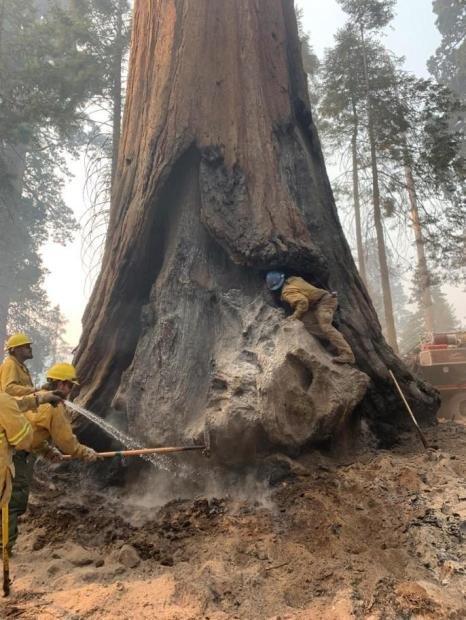 One firefighter climbs into a large tree face scar to check for heat while 3 others spray water and use combi-tool to extinguish hot ash at base of large sequoia tree