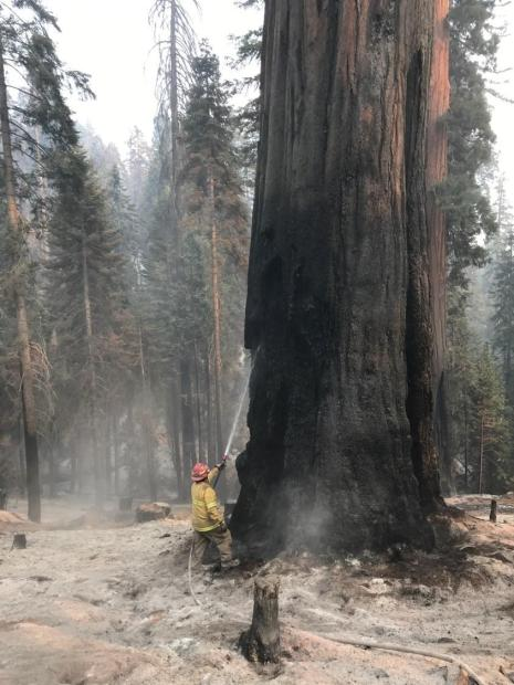Firefighter uses a hose to spray water  high up on smoldering tree scar of a large sequoia surrounded by a bed of gray ashes