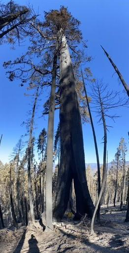 A firefighter is dwarfed by a large sequoia tree with a split in the base of the trunk. The split is at least 10 feet high and several feet across. The tree is at least 15 feet in diameter.