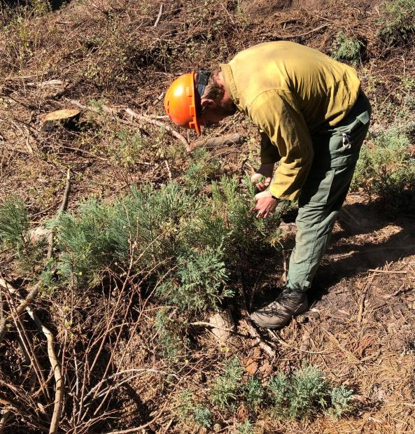 A man is examining several knee-high sequoia seedlings in an unburned area. The background is a brushy slope.