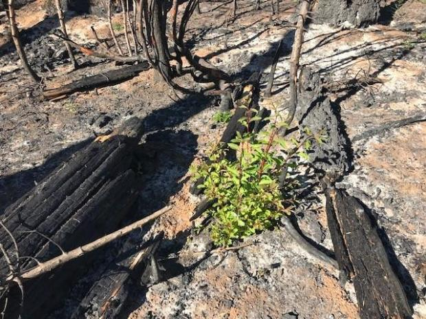 Image showing New growth emerging from chaparral in a high to moderate soil burn severity area