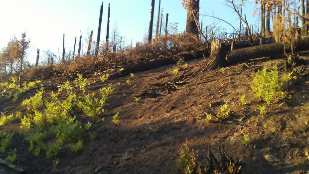Image showing Bracken Fern growing back in a moderate soil burn severity burn area of the Red Salmon Complex
