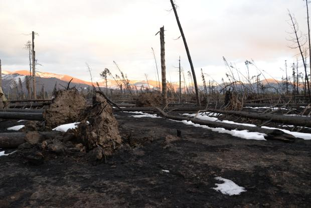 Downed trees within the fire area