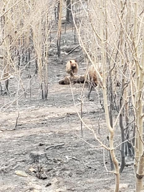 Bear in the fire area