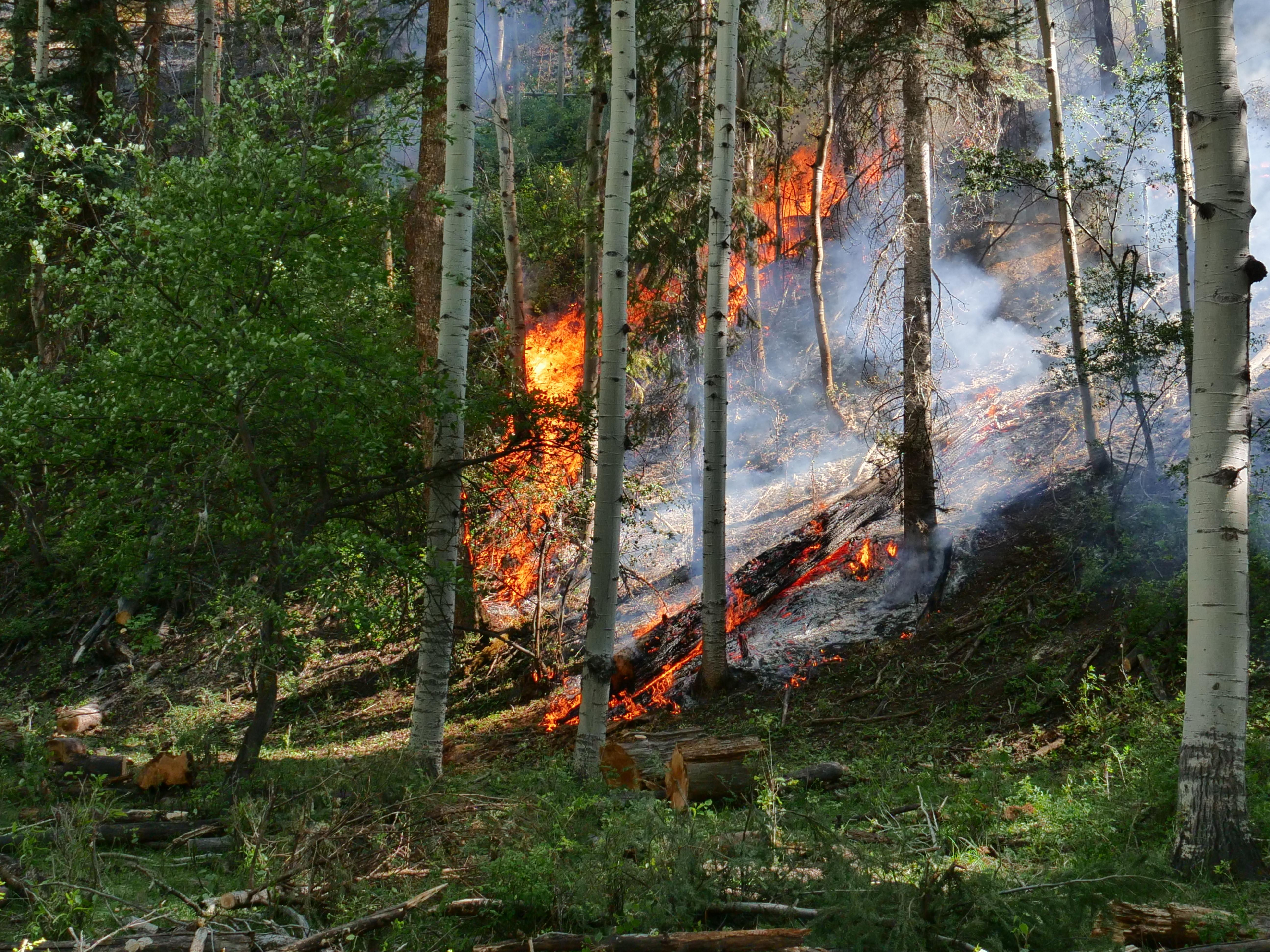 Fire burns on the ground in an aspen grove on the Loading Pen Fire.