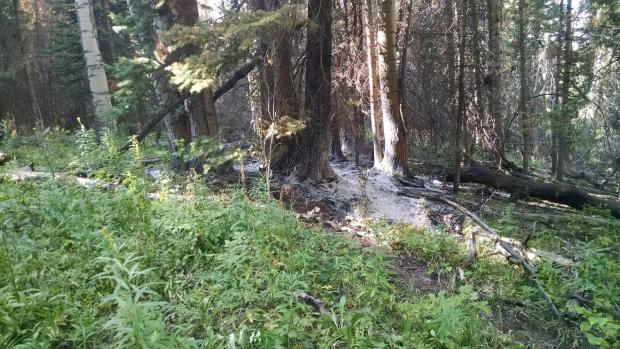 A small patch of ash at the base of evergreen trees, surrounded by undamaged green vegetation.