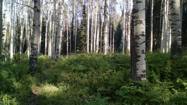 A healthy stand of mature aspen trees, with a lush green understory of low plants.