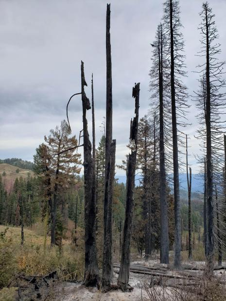 Snags and hazard trees often need to be removed before firefighters can work safely. Professional timber fellers are on scene to remove hazard trees that pose a threat to firefighters.