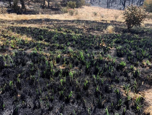 Small patches of green grass sprouting from a burned area.