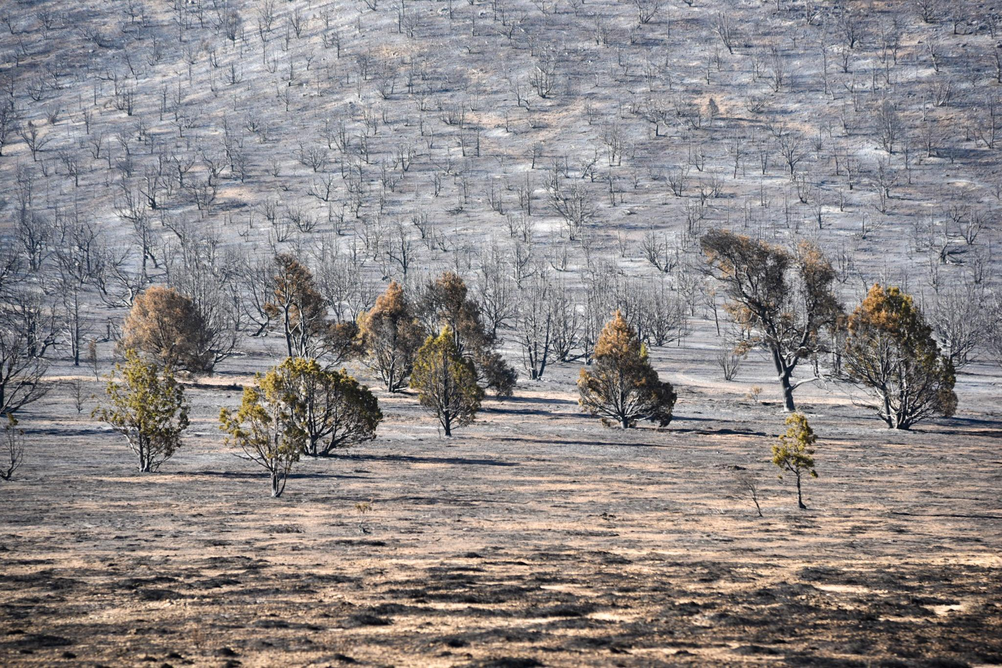 Burned area with burnt trees and brush.
