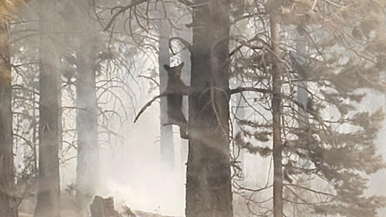 Close up of a bear cub in a tree, with smoke behind.