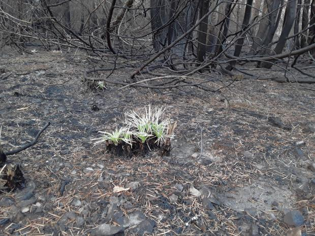 In areas where burn severity is moderate to moderate-high, Beargrass is already sprouting back up. Beargrass has been seen responding well in many areas of the Beachie Fire