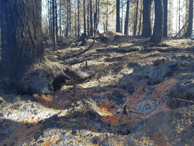 Natural recovery is already occurring in many areas of low and moderate soil burn severity.  The orange coating on the soil in this photo is due to a fungal bloom prompted by the flush of nutrients after the fire.  The fungus binds soil particles