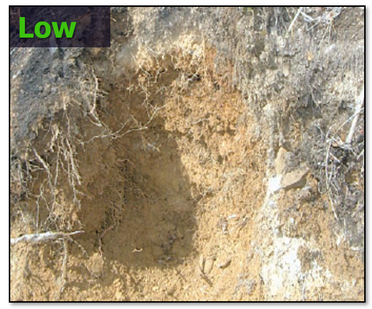 Example of low soil burn severity -fine roots intact and unchanged