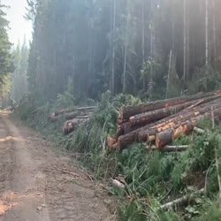 Cut trees lay on side of road as strip was cut to widen fireline