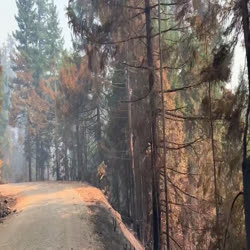 burned trees along road on smith fire