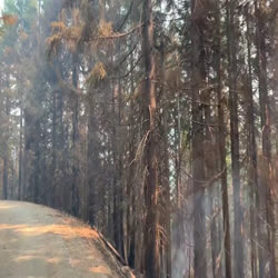 drive through burned trees on Smith Fire