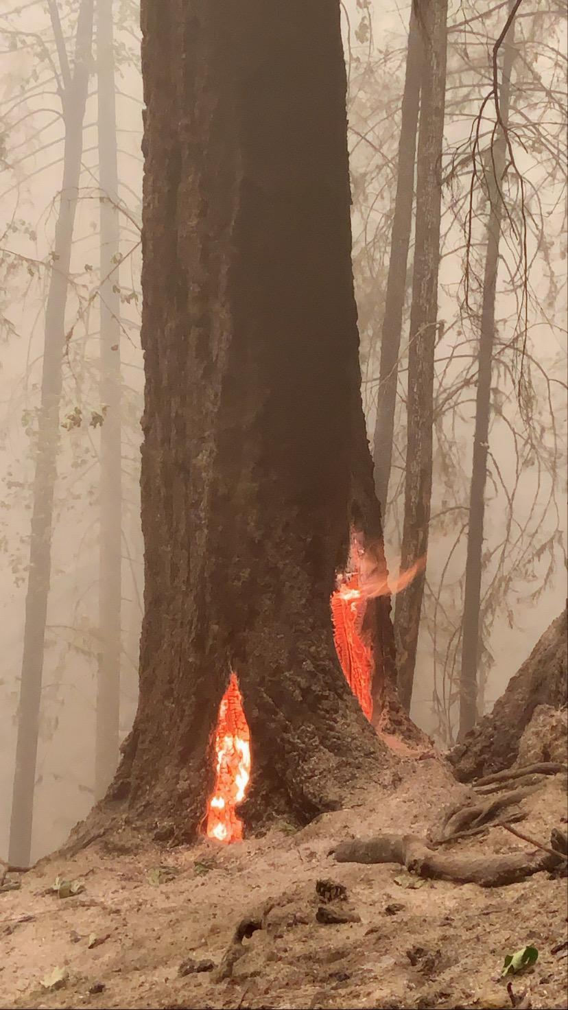 Hazard tree continues to burn in the roots near Highway 22