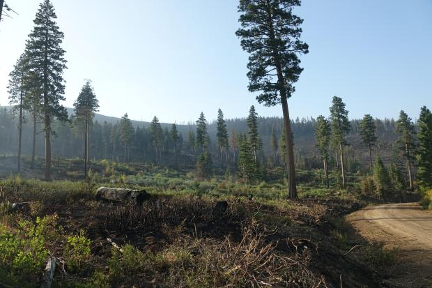 Burned forest understory of Lionshead Fire.