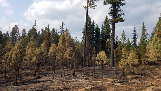 Burned forest trees in Lionshead Fire.
