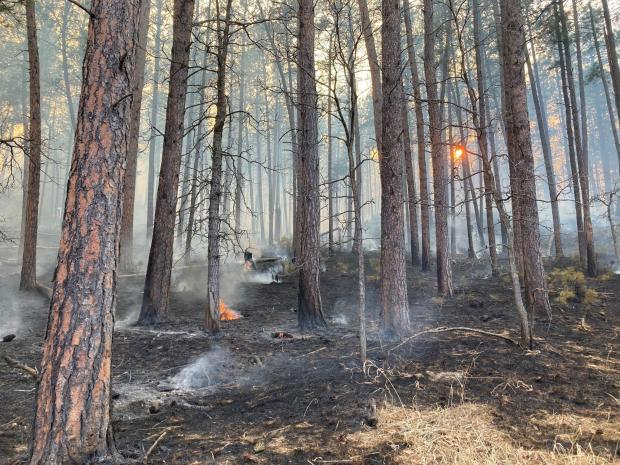 Fire burns along the ground in a stand of ponderosa pines