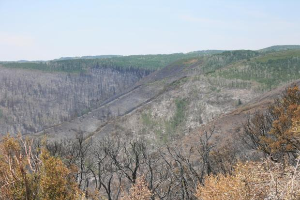A wide landscape shot of a hillside, shows half of the trees  have been burned and half have not.